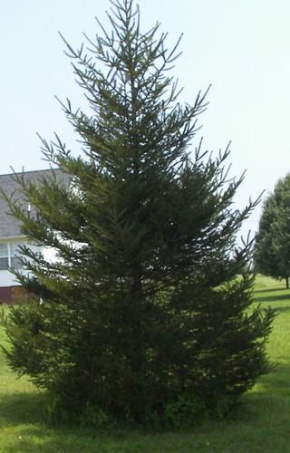 livingxmastree