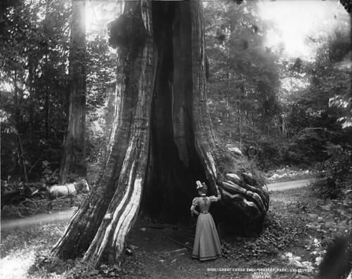 Great cedar tree, Stanley Park, Vancouver, BC. 1897