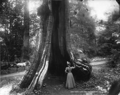 Great cedar tree, Stanley Park, Vancouver, BC,...