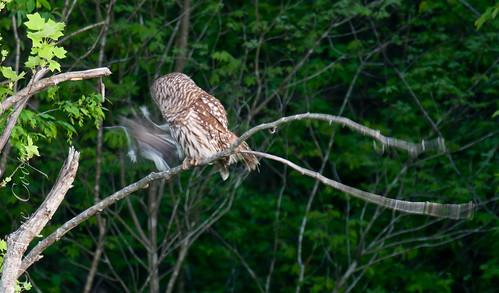 Barred Owl-17.jpg