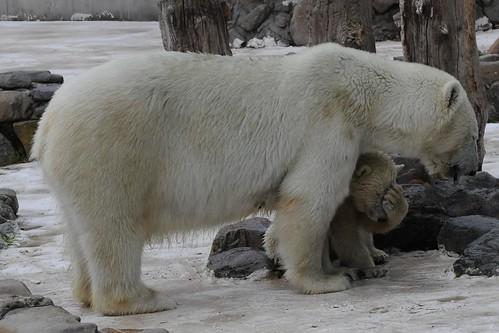 Eisbärin Blanche mit ihrer in der Monde Sauvage Safari in Aywaille