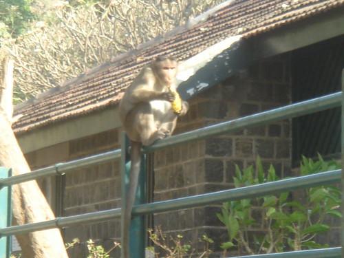 前往Elephanta Caves象窟1-21山林猴�