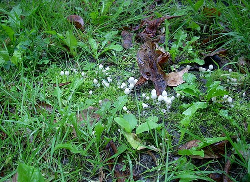 Weiße Pilze am Wegrand