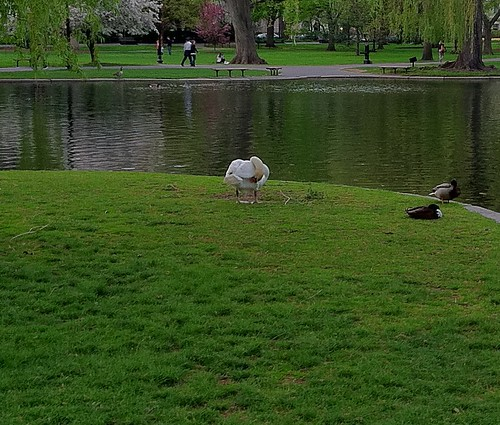 cropped swan