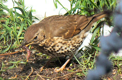 Song-thrush with worm
