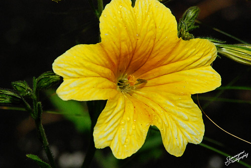 yellowflower2