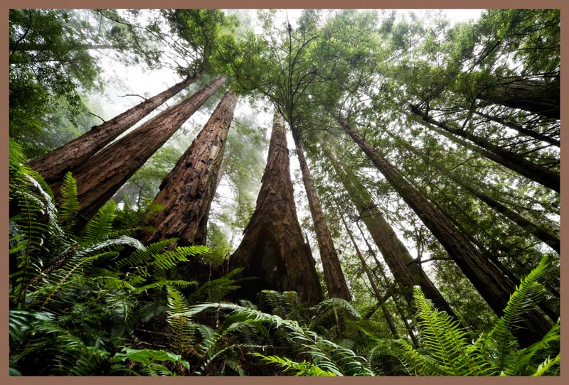 The redwoods are natures cathedral.