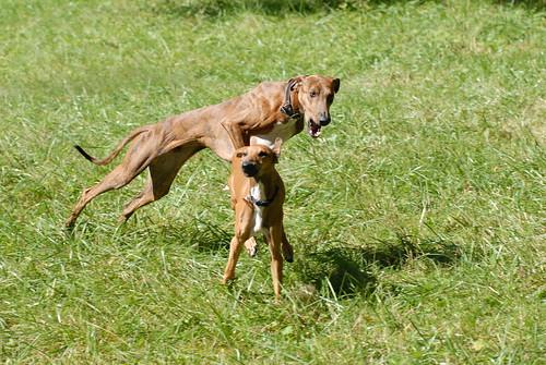 Sub-adult Azawakh play-chasing an Azawakh puppy.
