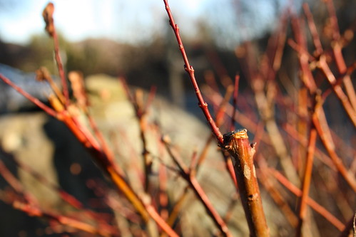 Red twigs