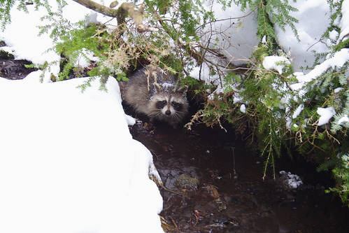 Through to the other side, Raccoon asks, 'Can't you make your dog stop barking?'