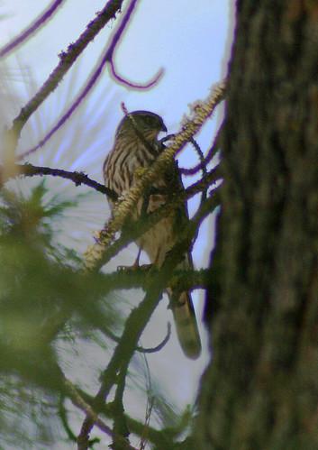 Sharpshinned Hawk
