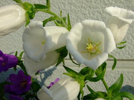 カンパニュラ~白花