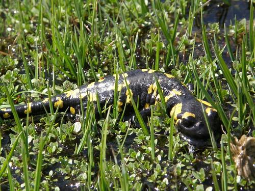 Salamandra 4