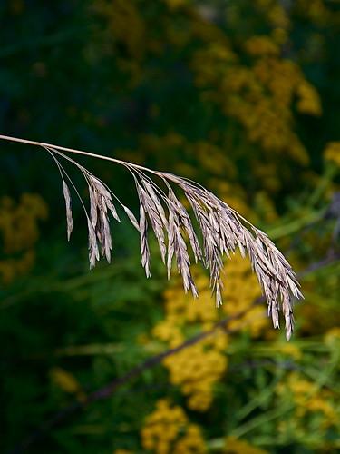 Common Tansy, (Tanacetum vulgare)