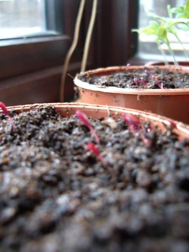 Amaranthus starts to show