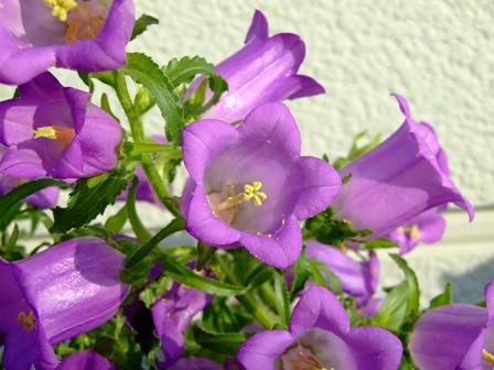 カンパニュラ~紫花