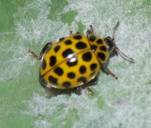 22-spot ladybird (Psyllobora 22-punctata)