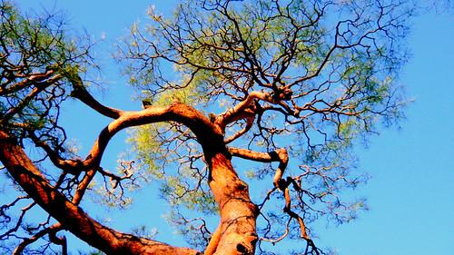 Old Pine Tree at Rikugien Garden Park, Tokyo Japan
