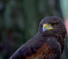 Falco_di Harris
