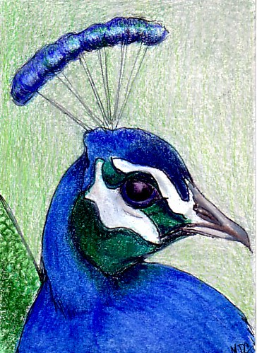 ATC - Peacock - Available