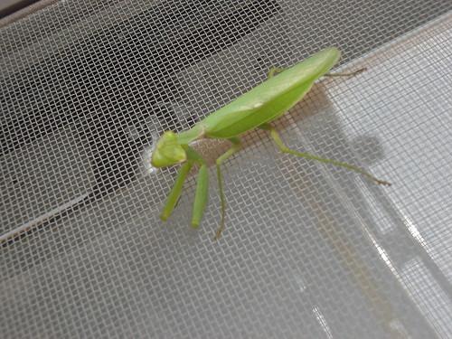 Mantis (Kamakiri)