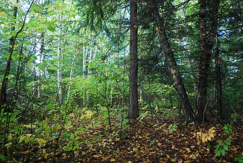 Another picture of the typical mix of birch, pine, and balsam fir in the school forest.
