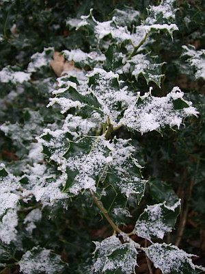snowcovered holly