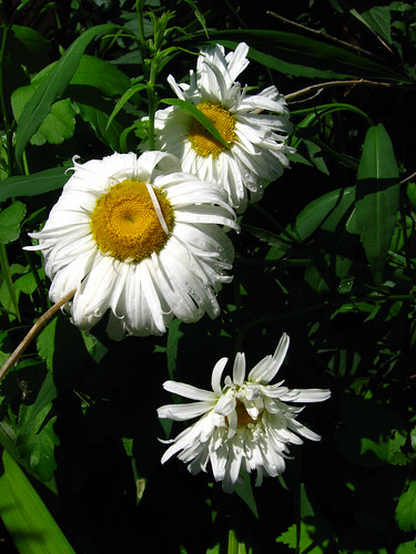 Droopy Daisies