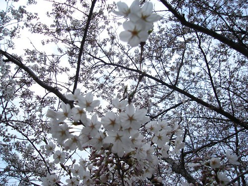 cherry blossoms 032