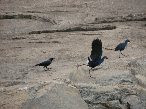 crow chasing purple moorhen off the rock lalbagh 220308