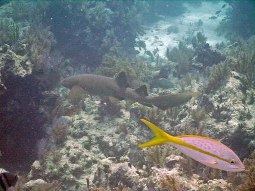 Shark at Molasses Reef