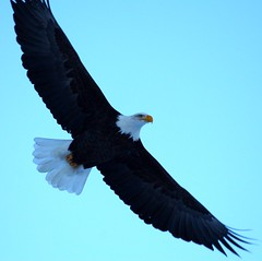 Soaring Bald Eagle - bummer about the missing ...