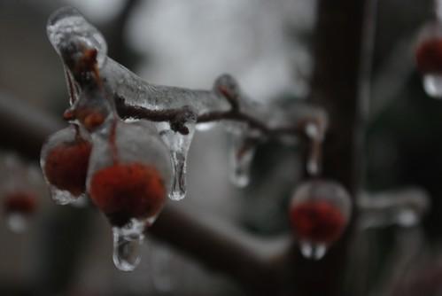 Frozen Winterberries