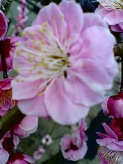 Plum Blossom at Yuuki Jinja