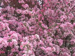 Fruit tree in bloom, Spain