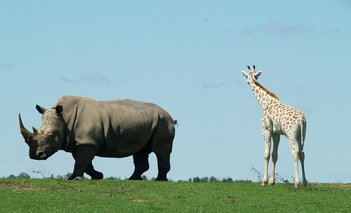 Rhino and Giraffe