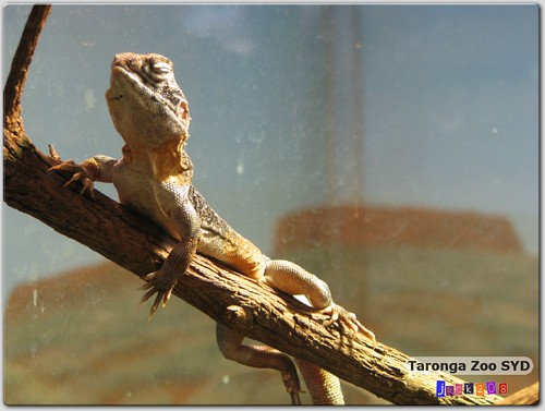 Taronga Zoo - Cave Gecko