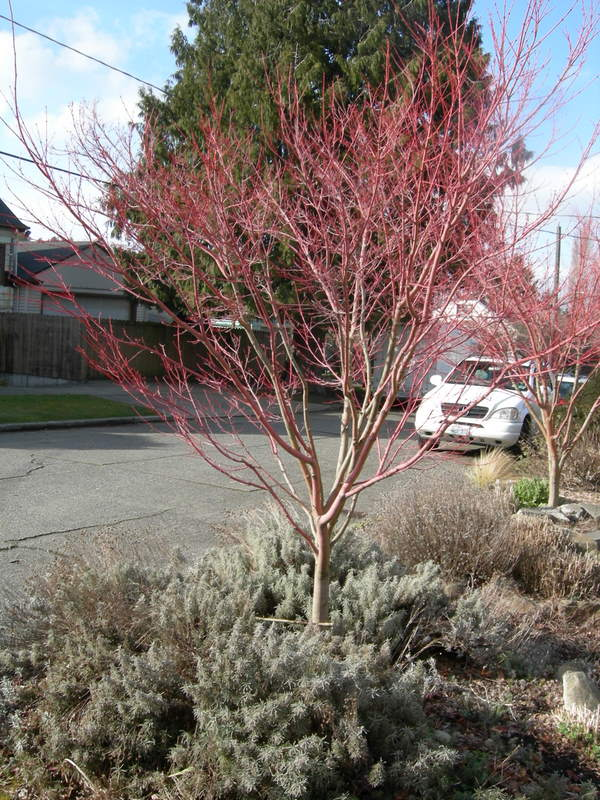 Parking strip with coral bark maples