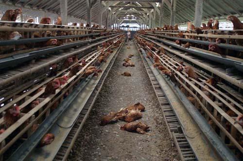 Kejadian ini terjadi pada awal tahun 2004 saat ribuan ayam-ayam ternak mati mendadak yang diduga disebabkan virus H5N1 atau lebih dikenal dengan virus flu burung. Puluhan ayam mati setiap harinya disetiap kandang sejak awal Januari di peternakan penduduk desa Senganan Tabanan, Bali. Para peternak kemudian secara sadar memusnahkan ayam-ayam yang sakit dan melakukan upacara sesuai adat Hindu Bali.