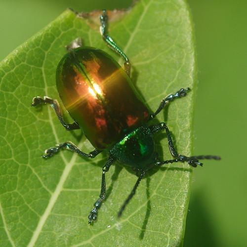 Dogbane Beetle Reflecting the Summer Sky