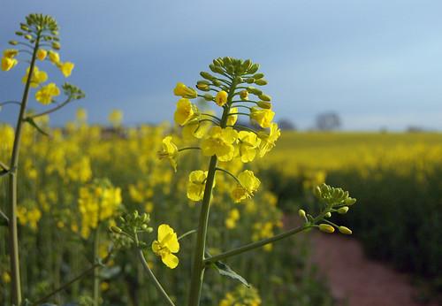 Oil seed rape flowers