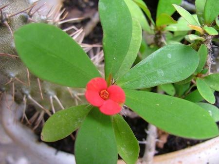 fleur de cactée!
