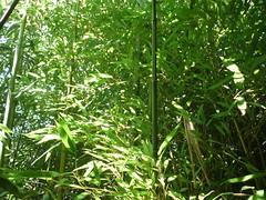 Békési bambuszerdő
