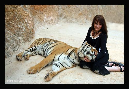 CLOSE ENCOUNTER AT THE TIGER TEMPLE near Bangkok Thailand