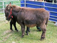 Sardinian Miniature Donkey, Kew Gardens.
