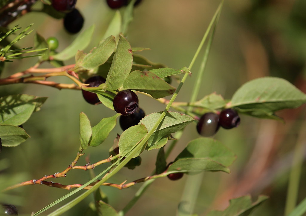 Western Huckleberry