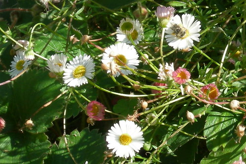 Erigeron with bee III
