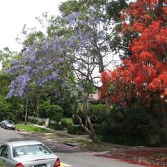 181_0770  Jacaranda  & Illawarra Flame Tree Brachychiton acerifolium  Brachychiton  Sterculiaceae
