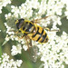 Diptera: flies, midges, hoverflies...