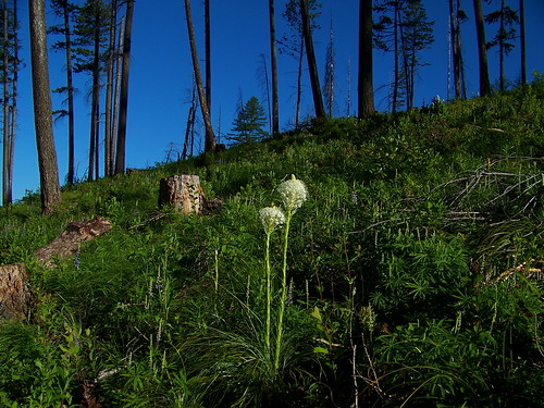 Common beargrass